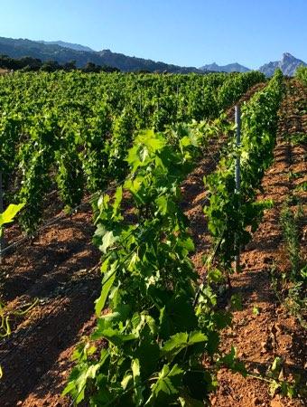 domaine de piscia corse vignoble vignes